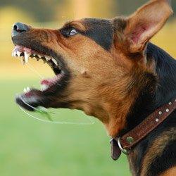 Dog Attack Dog Bite Lawyer Seattle